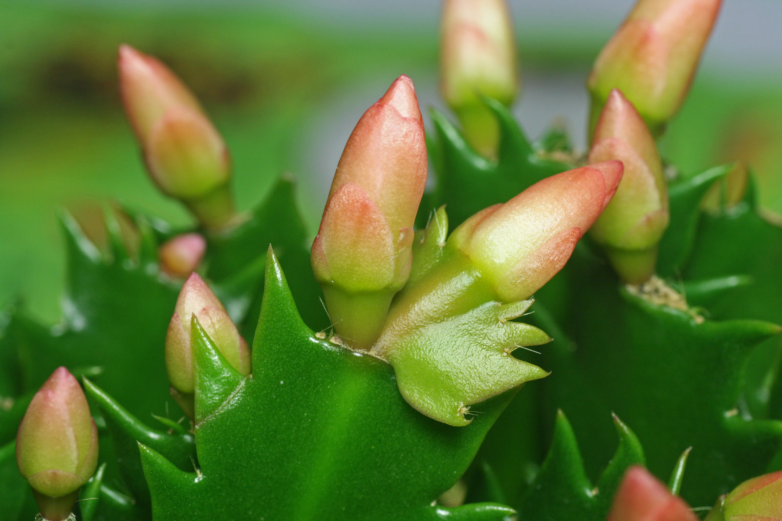 Weihnachtskaktus-Blütenknospen