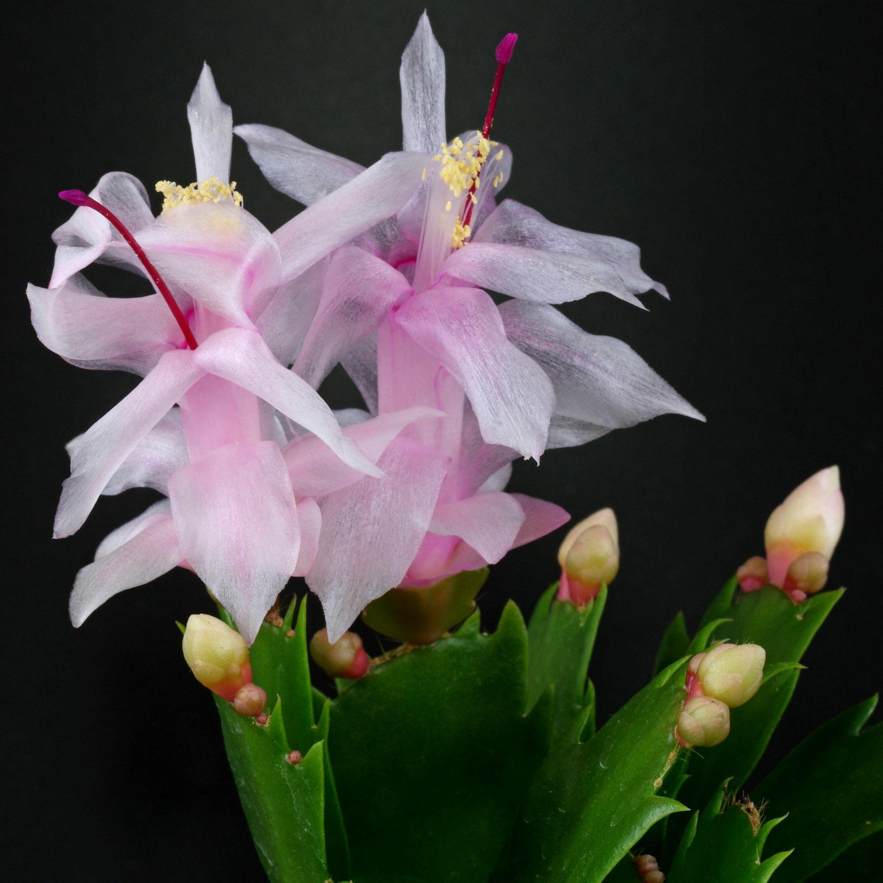 Weihnachtskaktus Blüten